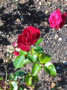 Les roses sont rouges lalala...